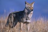 Coyote in Field Papier Photo par DLILLC