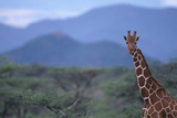 Reticulated Giraffe among Trees