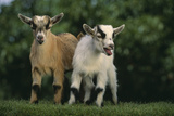 Two Pygmy Goats