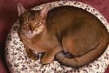 Abyssinian Ruddy Cat Lying on Cushion