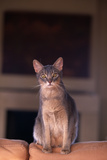 Abyssinian Blue Cat Sitting on Sofa