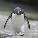 Rockhopper Penguin Walking with Head Down