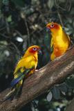 Sun Parakeets on Branch