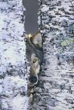 Gray Wolf Hiding in Trees Papier Photo par DLILLC