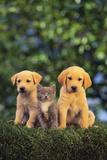 Retriever Puppies and Kitten