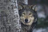 Gray Wolf Standing by Trees Papier Photo par DLILLC