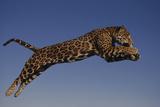 Jaguar Jumping through Sky