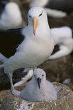 Black-Browed Albatross and Chick