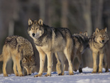 Gray Wolf Pack in Snow
