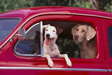 Jack Russel and Weimaraner Sitting in a Car