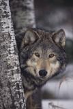 Loup gris Papier Photo par DLILLC