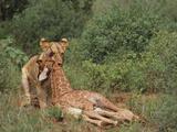 Lion Dragging Dead Giraffe Calf