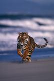 Bengal Tiger Running on Beach