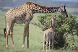 Giraffe and Young Eating a Bush