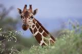Giraffe Peeking over Foliage
