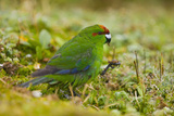 Red-Crowned Parakeet Feeding on the Ground