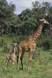 Giraffe Parent and Young