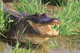 Alligator Papier Photo par DLILLC