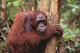 Glum Orangutan