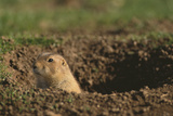 Black-Tailed Prairie Dog Peeking out of Den