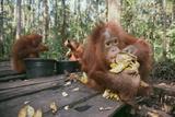 Orangutan Rehabilitation Feeding Station