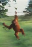 Orangutan Swinging through Forest