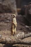 Meerkat Standing Up Papier Photo par DLILLC