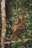 Young Orangutan in the Trees