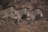Three Grevy's Zebras
