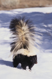 Striped Skunk in the Snow