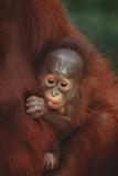 Baby Orangutan Holding onto Mother