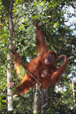 Orangutan and Baby Swinging in the Trees