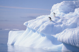 Adelie Penguins on Iceburg