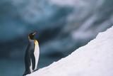 King Penguin on Snow