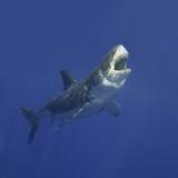 Grand requin blanc Papier Photo par DLILLC