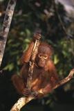 Baby Orangutan on Tree Branch in Forest