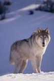 Loup gris dans la neige Papier Photo par DLILLC