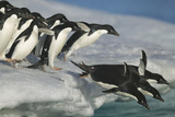 Adelie Penguins Diving into Water