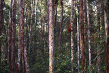 Orangutan in the Jungle of Borneo
