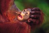 Mother Orangutan Kissing Baby
