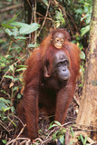 Orangutan with Her Baby