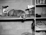 Dog Sits on a Shelf at Shelter in Oakland  California  Ca 1963