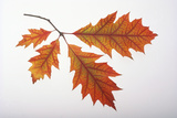 Branch of Red Oak Leaves