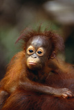 Baby Orangutan Clinging to Mother's Back