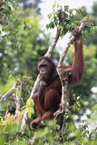 Orangutan Resting on Tree Branch