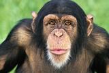 Chimpanzee Looking