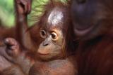 Baby Orangutan with Mother