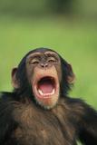 Chimpanzee Yawning