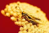 Grasshopper on Yarrow Plant