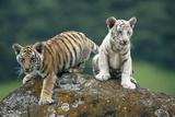 Bengal Tiger Cubs Perched on Rock Papier Photo par DLILLC